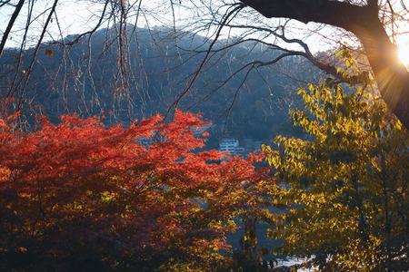 Beautiful colorful maple trees in autumn season