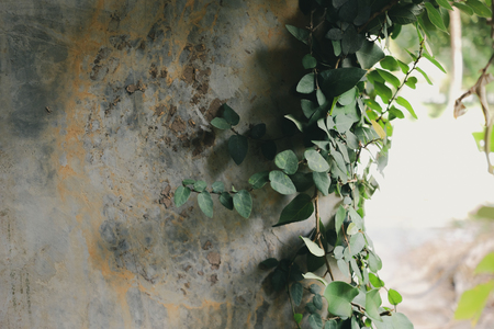 Ivy on concrete edge background Imagens - 123867030
