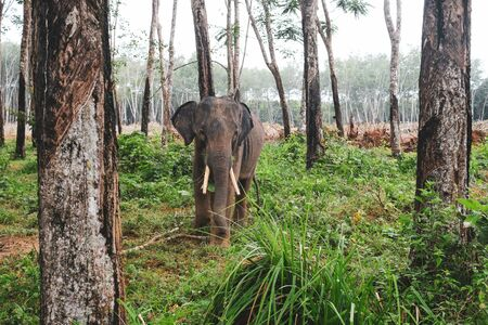 Male elephant living in the nature Imagens - 127788335