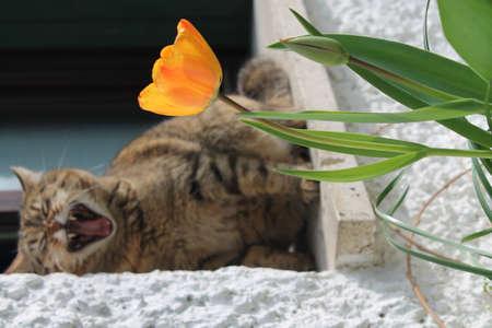 cansancio: unos bostezos gato en un d�a de verano