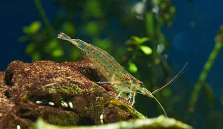 amano: Amano Shrimp in Freshwater Aquarium Stock Photo
