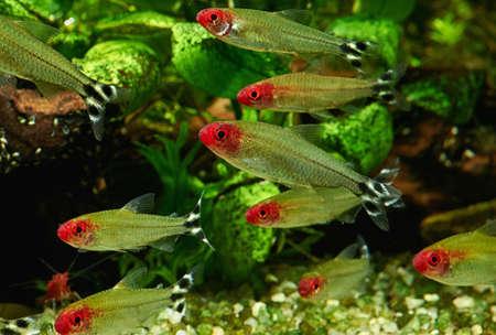 Hemigrammus Rhodostomus in Freshwater Aquarium Stock Photo
