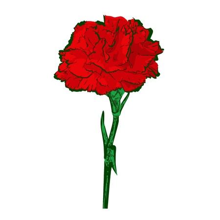 clavel: Flor aislado en blanco - vector