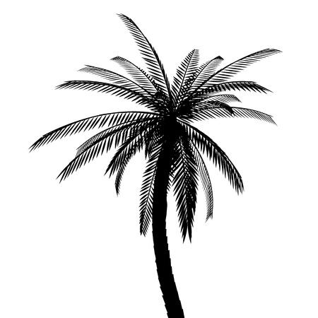 plante tropicale: Isol� de palme. Silhouette Illustration