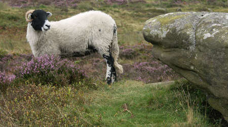 Ram posing in front of large rock, Peak District, Derbyshire, UK photo