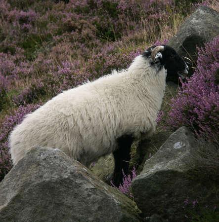 Ram munching on grass in the Peak District, Derbyshire, UK photo
