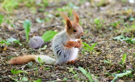 Ordinary squirrel or bug. Lat. Sciurus vulgaris