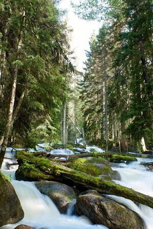 A river with swift foaming water in a pine forest. Ullu-Murudzhu, North Caucasus, Russia 写真素材