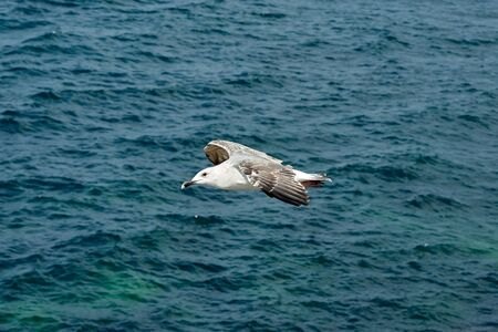 Seagull flying on a background of blue sea