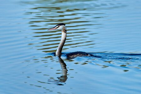 The great crested grebe is a member of the grebe family of water birds