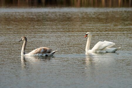 Mute swan and his adult chick on a lake. Cygnus olor