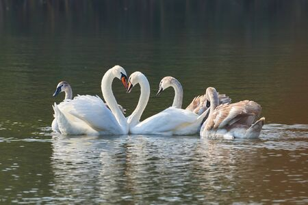 Mute swan family on the lake. Cygnus olor Stock Photo - 132097500
