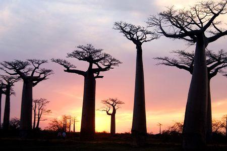 field of Baobab trees in Madagascar