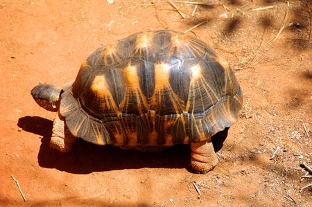 Plowshare angonoka tortoise in Madagascar Stock Photo - 2902554