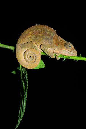 africa chameleon: Chameleon in Madagascar, Africa