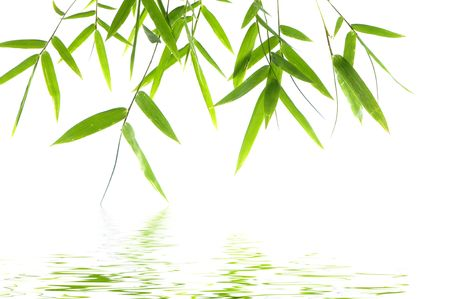 Young green bamboo leaves with reflection photo