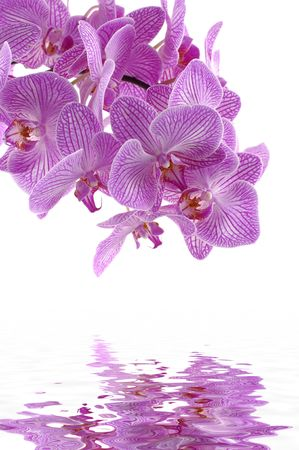 mirror on the water: pink orchid with reflection