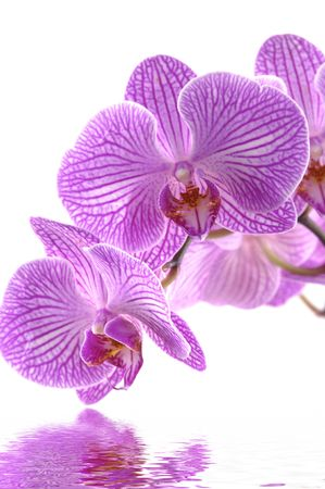 pink orchid with reflection photo