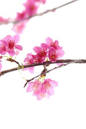 fleur de cerisier: isol�es de la cerise fleur rose