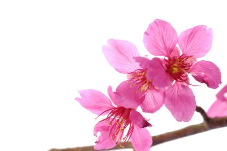 close up cherry blossoms Stock Photo - 5007835