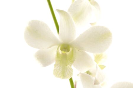 Beautiful orchid flower macro over white with space for text photo