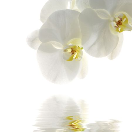 phal: orchid isolated on white with reflection