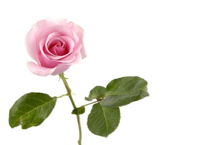 long stem: Pink flowering rose with a bright green foliage on a white background