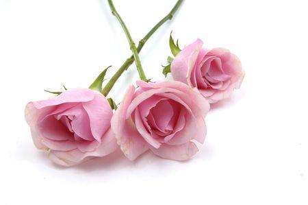 demure: Three pink roses on white background Stock Photo