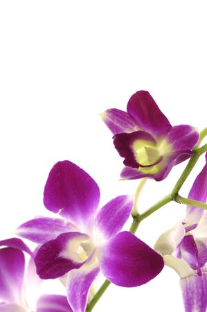Pink orchid isolated on white background Stock Photo - 5928443