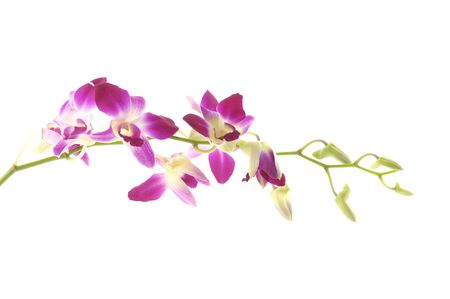 Pink orchid isolated on white background Stock Photo - 5928437