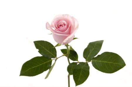 Pink flowering rose with a bright green foliage photo