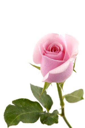 Beautiful pink rose 版權商用圖片