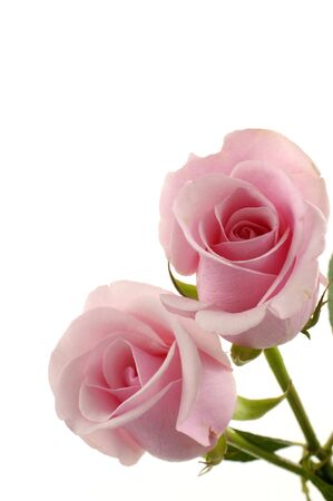 Beautiful two pink roses  photo