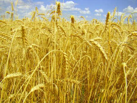 drudgery: wheat ear Stock Photo