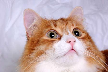 very: Head red-headed cat looking up, very focused closeup