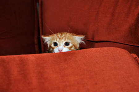 Ginger kitten frightened looks out for obstacles Stock Photo