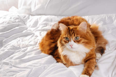 Big fluffy red cat is resting on the white bed.