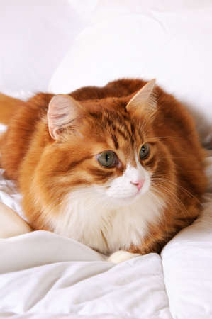Fluffy red-headed cat resting on a bed in a white bed.