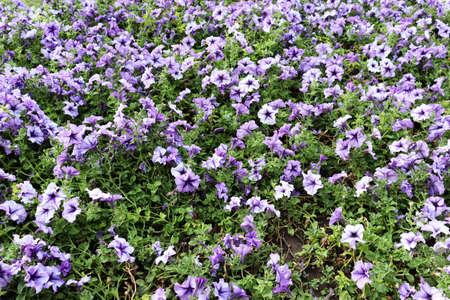 Delicate flower on garden. Romantic flowers field background. Blue flowers walpaper