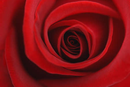 Macro flower beautiful rose for a background image Stock Photo - 7572174