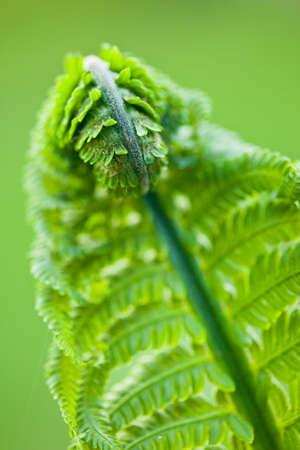 Fresh green leaves of a fern in the blurry background photo