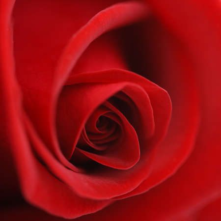 Macro flower beautiful rose for a background image Stock Photo