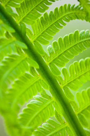 Fresh green leaves of a fern in the blurry background Stock Photo - 8829901