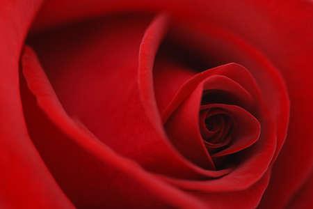 Macro bloem mooie roos voor een achtergrondafbeelding