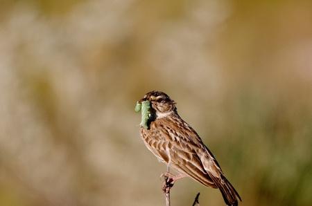 Vogel met rups in mond Stock Photo