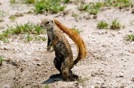 xerus inauris: Grond eekhoorn