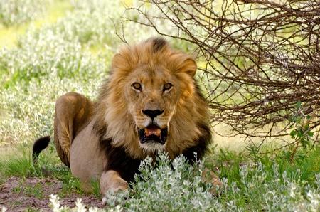 Zwart gemaande mannetjes leeuw