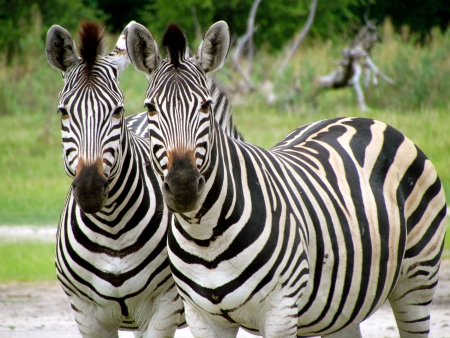 Two zebras Stock Photo