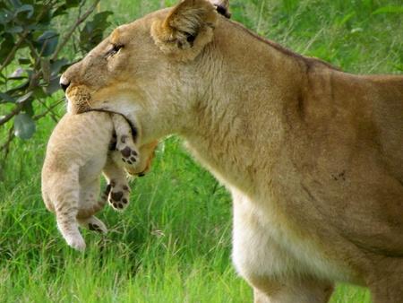 カブ: 口の中でカブをライオン