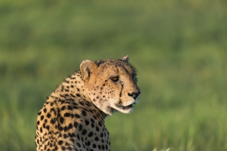 Cheetah in the afternoon sun